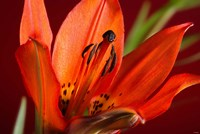Red Lily With Black Specks Fine-Art Print
