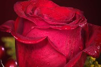 Red Rose And Dew Closeup Fine-Art Print