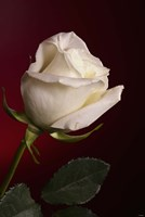 White Rose On Red Fine-Art Print