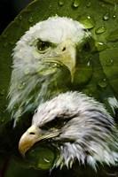 American Bald Eagle III Fine-Art Print