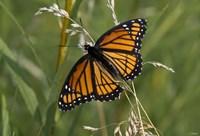 Orange And Black Butterfly In Greenery Fine-Art Print
