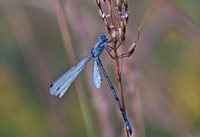 Blue Dragonfly On Stem Fine-Art Print