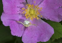 North Shore Insect On Pink Flower Fine-Art Print
