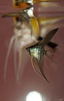 Angel Fish VI Fine-Art Print