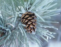 Frosted Pine Cone And Pine Needles I Fine-Art Print