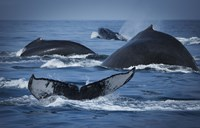 Whale Tails And Humps Fine-Art Print