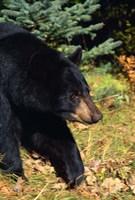 Black Bear Stroll Fine-Art Print