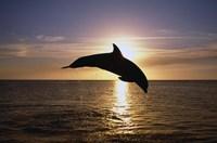 Dolphin Sunset Dive I Fine-Art Print