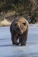Bear On The Prowl Fine-Art Print