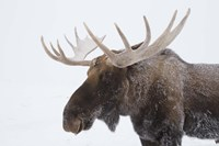 Brown Moose White Antlers Fine-Art Print