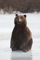 Bear Taking A Seat Fine-Art Print