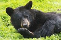 Black Bear On Grass Fine-Art Print