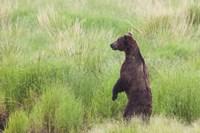 Bear In High Grass Fine-Art Print