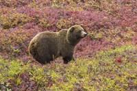 Bear In Colored Field Fine-Art Print