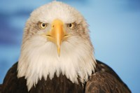 Wise Bald Eagle Fine-Art Print