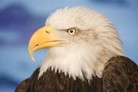Wise Bald Eagle Profile Fine-Art Print