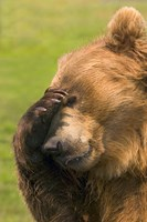 Brown Bear Disbelief Fine-Art Print