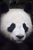 Panda Closeup Fine-Art Print