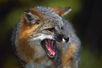 Fox Yawn Fine-Art Print