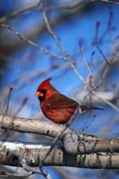 Cardinal On Birch Branch Fine-Art Print