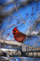 Cardinal On Birch Branch Fine-Art Print