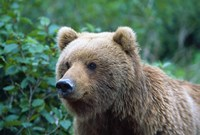 Brown Bear Stare Fine-Art Print