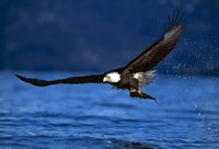 Soaring Eagle Over Blue Sea Fine-Art Print