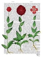 Italian Carnation 2 Fine-Art Print