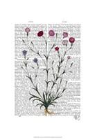 Italian Carnation 5 Fine-Art Print