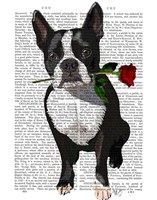 Boston Terrier with Rose in Mouth Fine-Art Print