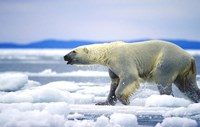 Polar Bear on Ice Float Fine-Art Print