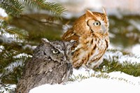 Winter Owls Fine-Art Print