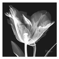 Lusty Tulip 1 Fine-Art Print