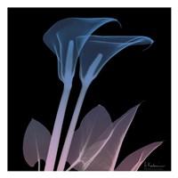 Calla Lily Purp and Black Fine-Art Print
