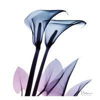 Calla Lily Purp II Fine-Art Print