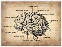 Vintage Brain Map Anatomy Fine-Art Print