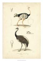 Antique Ostrich Study Fine-Art Print