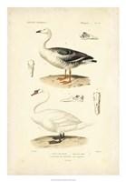 Antique Swan Study Fine-Art Print