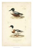 Antique Duck Study II Fine-Art Print