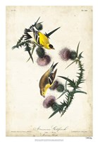 American Goldfinch Fine-Art Print