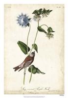 Grey-crowned Purple Finch Fine-Art Print