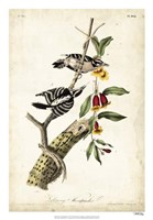 Downy Woodpecker Fine-Art Print