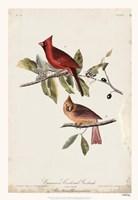 Common Cardinal Grosbeak Fine-Art Print