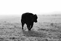 Bull After Ice Storm Fine-Art Print