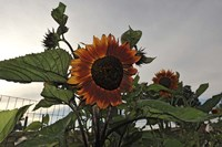 Sunflowers and Storm Fine-Art Print
