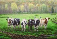 Curious Cows Fine-Art Print