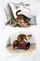 Wild Cat and Angora Cat Fine-Art Print