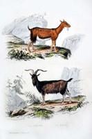 Male and Female Goats Fine-Art Print