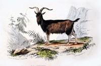 Male Goat Fine-Art Print