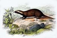 Badger Fine-Art Print
